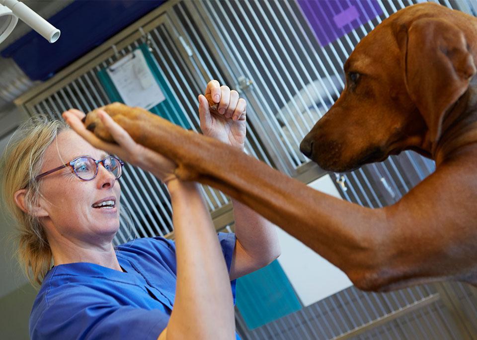 Hund hos veterinär i Slöinge & Falkenberg